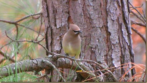 Birds Cedar waxwing_002