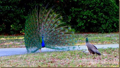 Peacocks @Magnolia Park, Apopka Florida_089