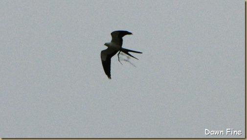 swallowtailed kite_026