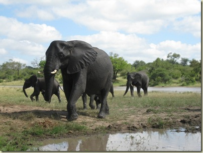 Elephants Kruger National Park Mpumalanga South Africa