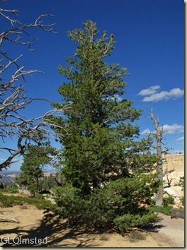 Young Bristlecone Pine along Bristlecone Loop trail Bryce Canyon National Park Utah