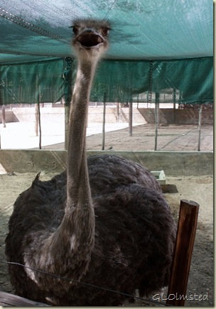 Tame Besty Cango Ostrich Farm R328 Oudtshoorn Little Karoo Western Cape South Africa
