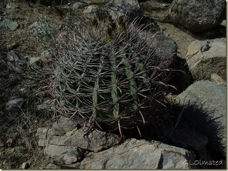 Fishhook barrel cactus Signal Hill trail Saguaro National Park Arizona