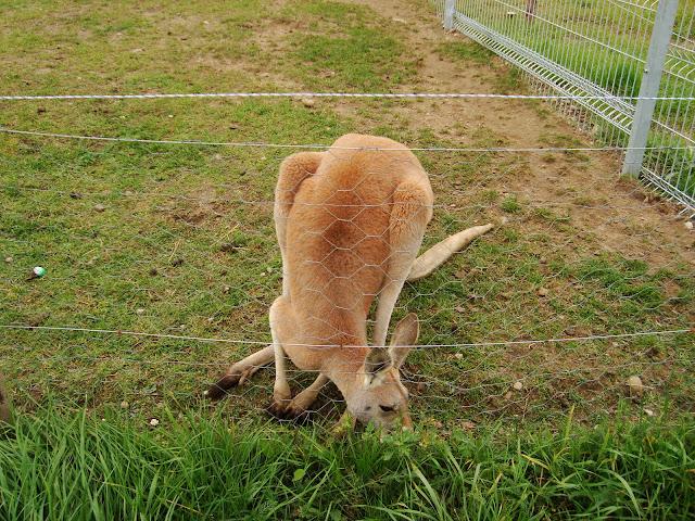 Kangur rudy - Zoo Człuchów