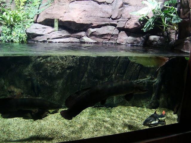 Dzięki specjalnej konstrukcji akwarium, mamy możliwośc zobaczenia tego co pod wodą i tego, co nad wodą.