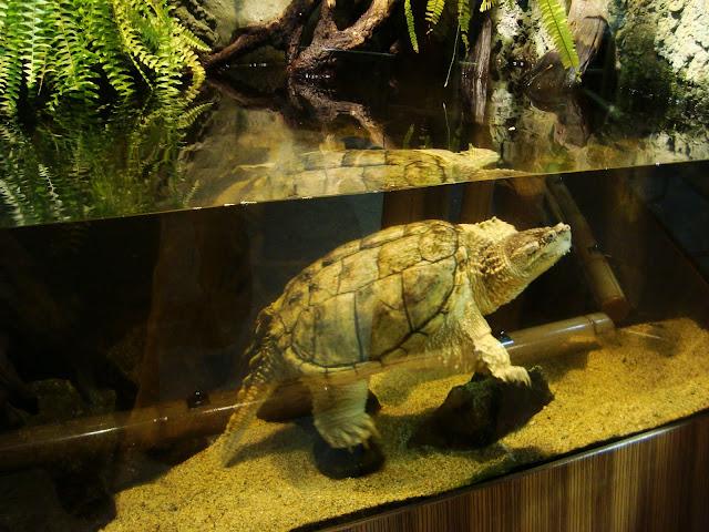 Żółw jaszczurowaty - Akwarium Gdyńskie