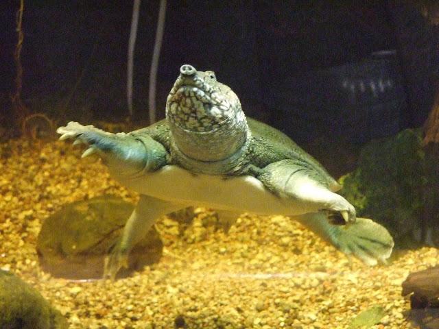 Akwarium Gdyńskie - żółwiak chiński