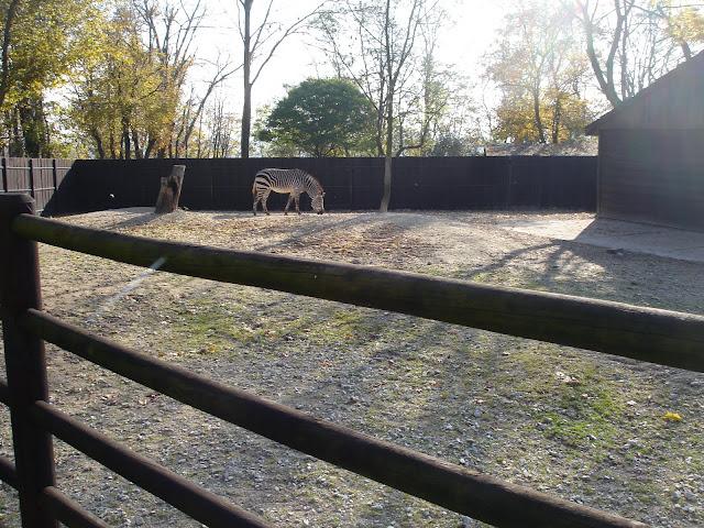 Wybieg zebr