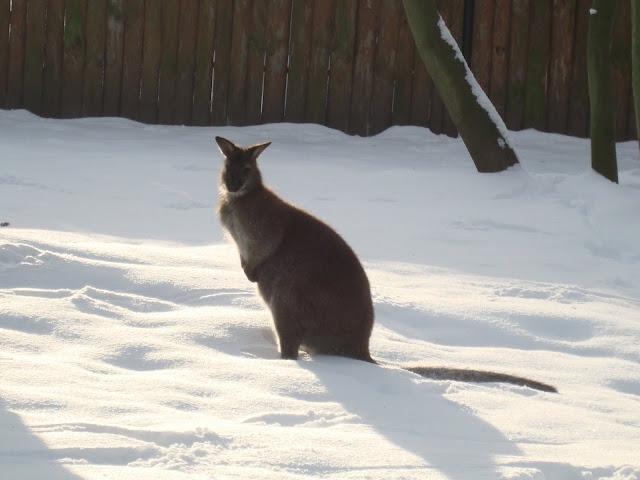 Walabia Bennetta na śniegu