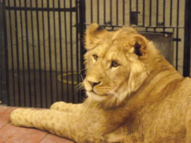 Lew (fot. Zoo Zamość)