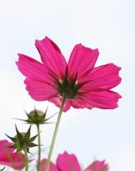 chrysanthemum flores