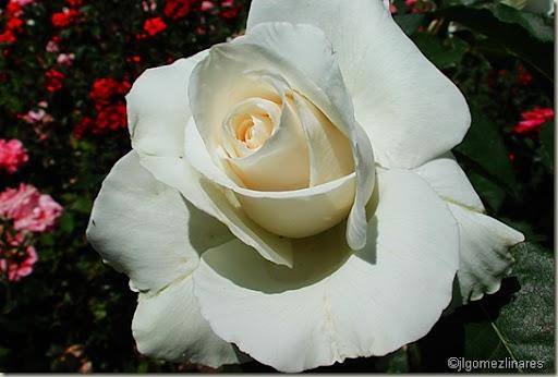 Rosaleda V