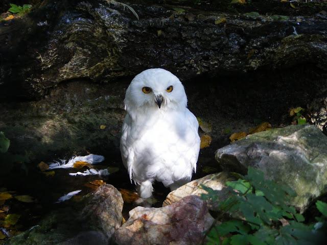 Sowa śnieżna - Nowe Zoo Poznań