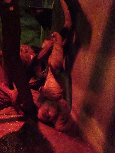 Leniwiec w pozycji...stojącej!