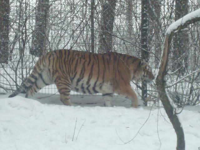Tygrys na śnieżnej przechadzce