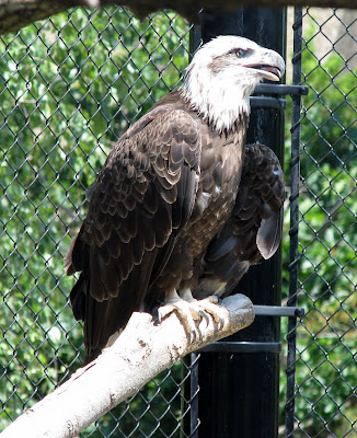 Bald Eagle, must be a juvenile