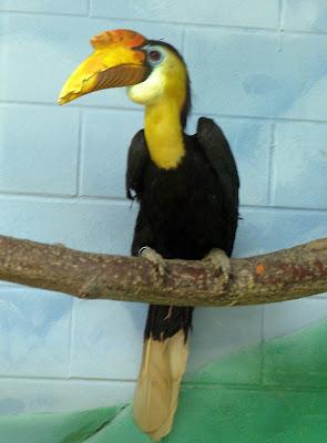 Sunda Wrinkled Hornbill