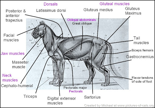 cat muscle anatomy diagram 93 chevy 1500 ecu wiring muscles superficial of the drawing