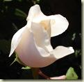 climbing rose_1