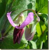 mangetout flower1_1