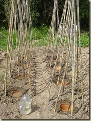 beans   terracotta pots6_1_1