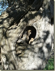olive trunk 1_1_1