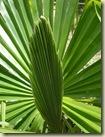 palm leaf_1_1
