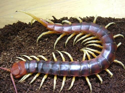 【情報】十大巨人蜈蚣(圖) @世界之不可思議 哈啦板 - 巴哈姆特