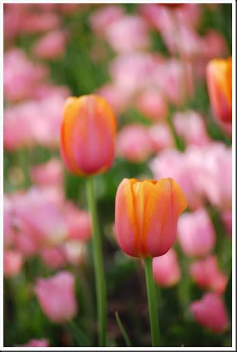 pink orange tulips