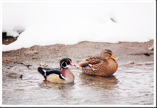 Wood Duck and Mallard Surprised