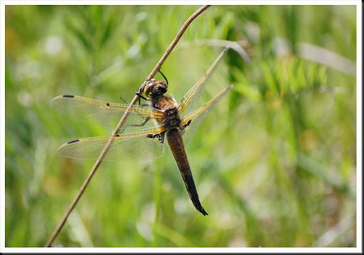 dragonfly hawk