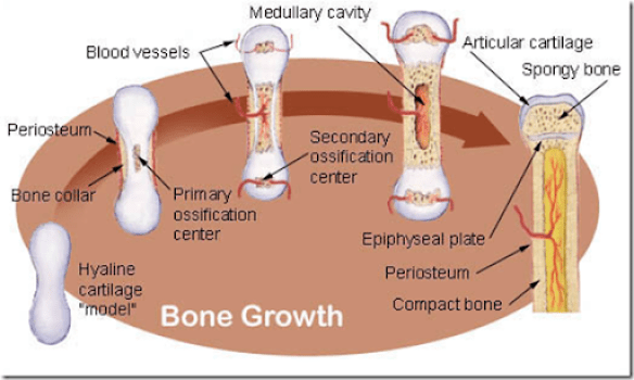 bone physiology -, Skeleton