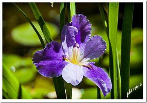 DSC_0083 purple water iris