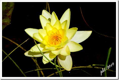DSC_0028 yellow lily