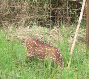 Rusa mencoba bersembunyi, padahal kami berada pada jarak ±3 meter dan rusa itu terlihat jelas.