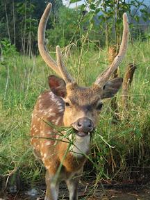 si Bujang, rusa jantan berumur 2 tahun