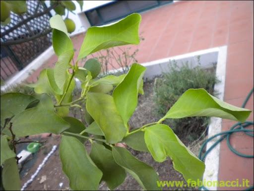 Che malattia ha questo limone  FOTO  Forum di Giardinaggioit