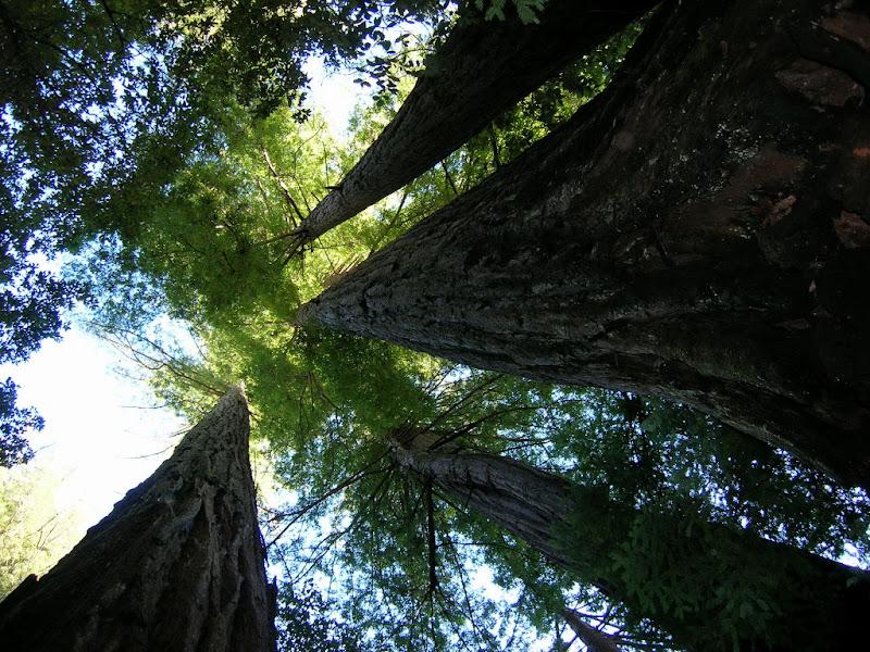 Redwoods in Memorial Park