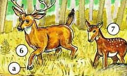 6. deer  a. hoof  7. fawn