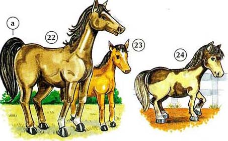 22. cheval a. queue 23. poulain 24. poney