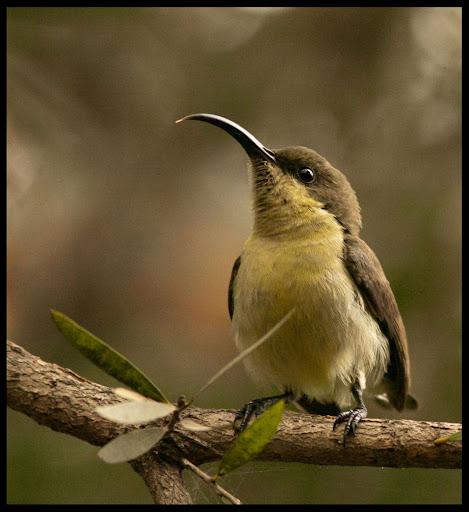 Purple-rumped Sunbird - Female