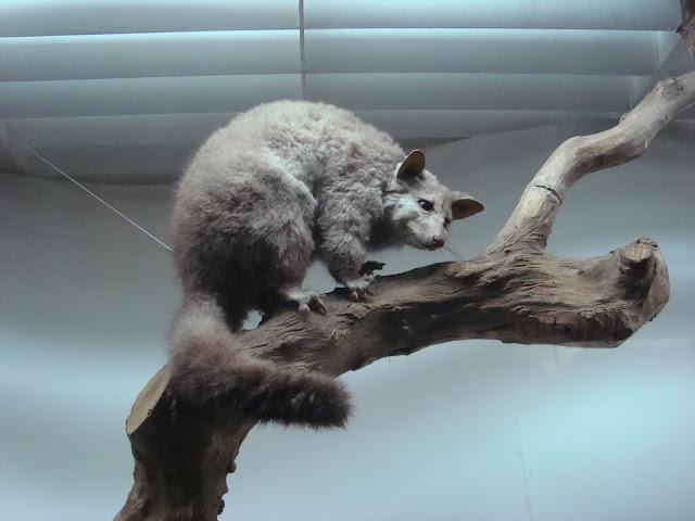 Muzeum Przyrodnicze we Wrocławiu - Pałanka kuzu