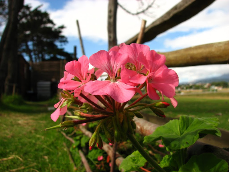 Super-macro shot of a pink geranium