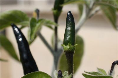 Peperoncino nero  Forum Giardinaggio