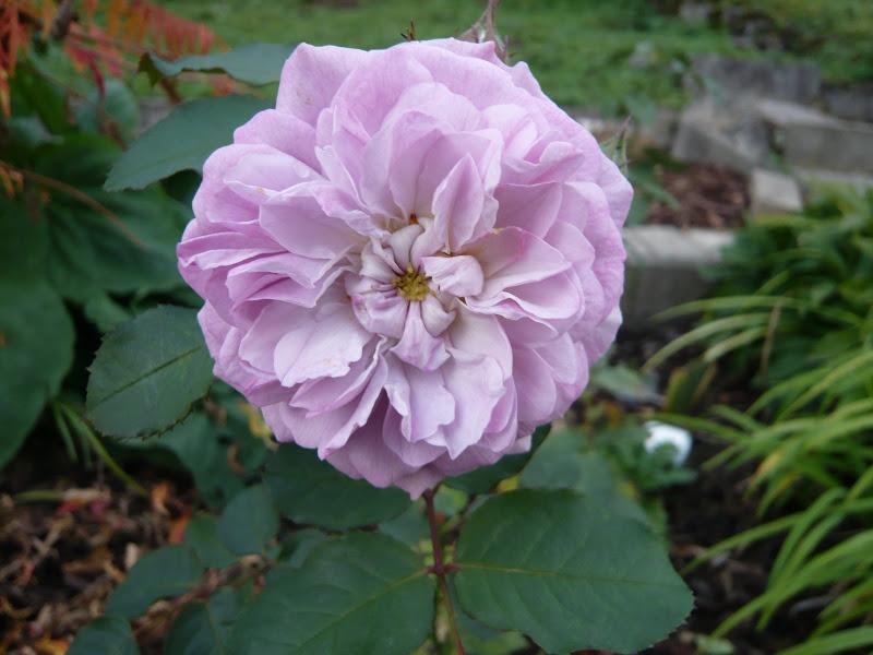 Blaue Rosen Bestellen blaue rosen mit wassertropfen poster online bestellen blaue rosen und