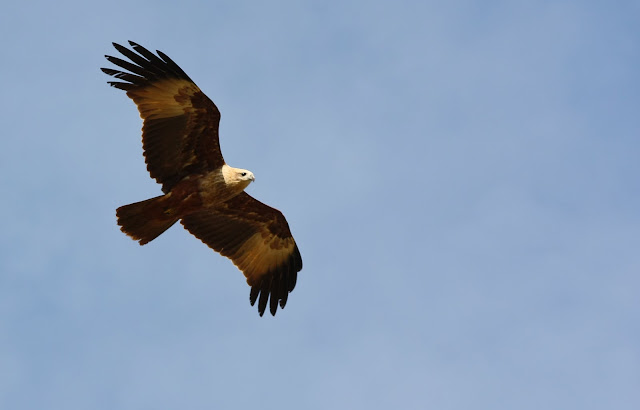 Brahminy Kite looking for the fishes and crabs in the lake