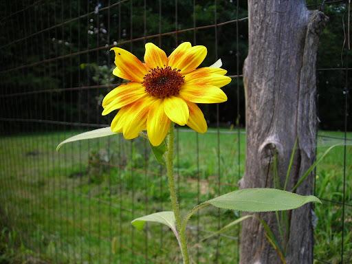 flower in the veggie garden