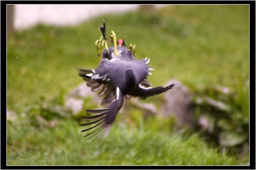 combattimento gallinelle1