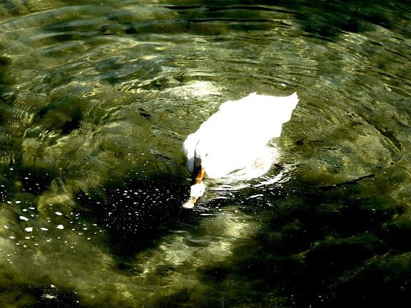 Pato metiendo la pata