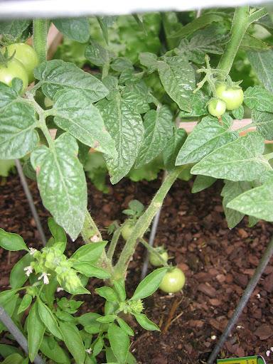 DP's Nashville Vegetable and Fruit Garden: Adventures in